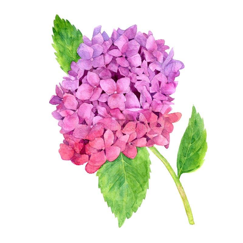 Rosa vanlig hortensia för vattenfärg royaltyfri illustrationer