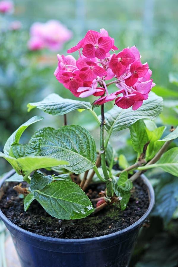 Rosa vanlig hortensia i en kruka arkivbild