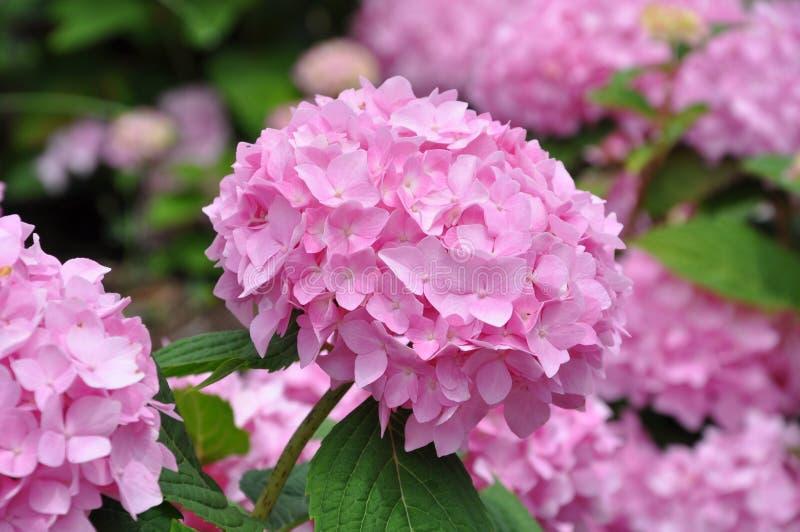 Rosa vanliga hortensior royaltyfria foton