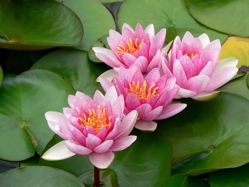 rosa vatten för lillies arkivfoton
