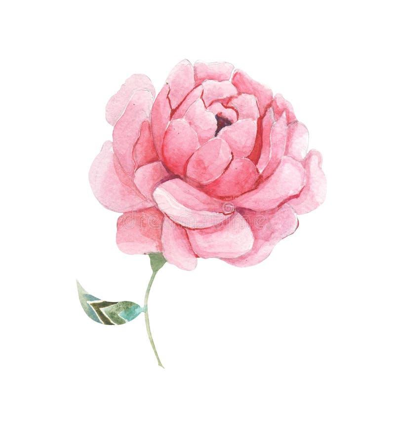 rosa vattenfärg för blomma royaltyfri fotografi