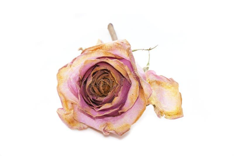 Rosa velha desvanecida murcho do rosa imagem de stock royalty free