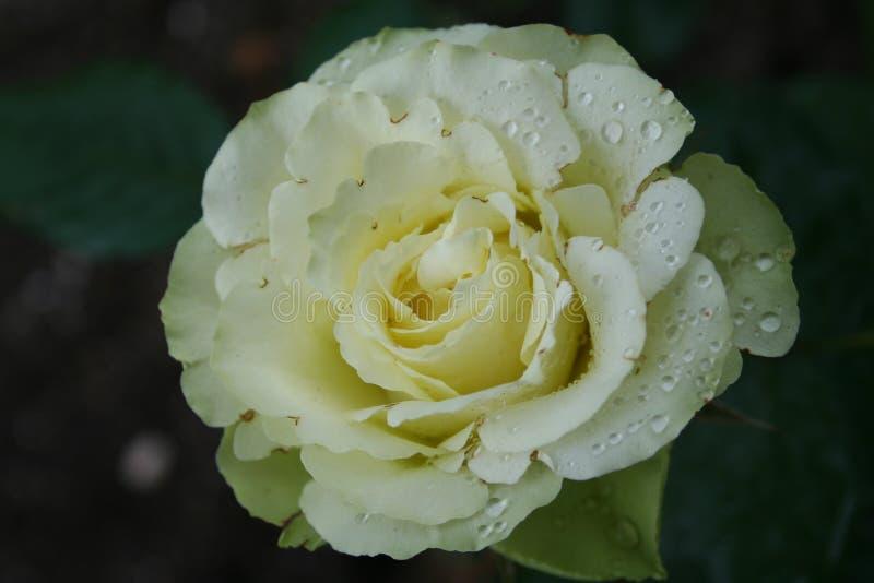 Rosa verde e bianca un giorno piovoso immagini stock
