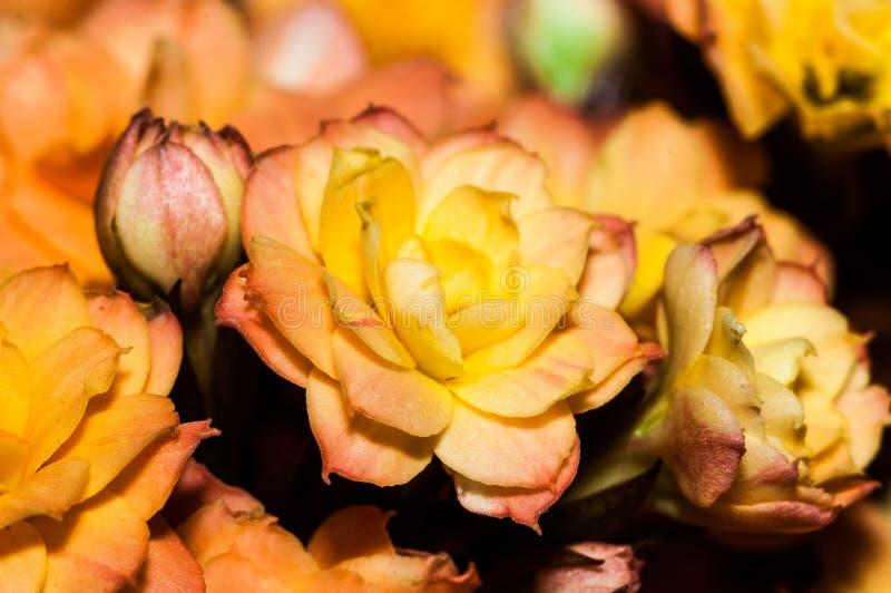Rosa vermelha alaranjada gosta do kalencoe fotos de stock royalty free