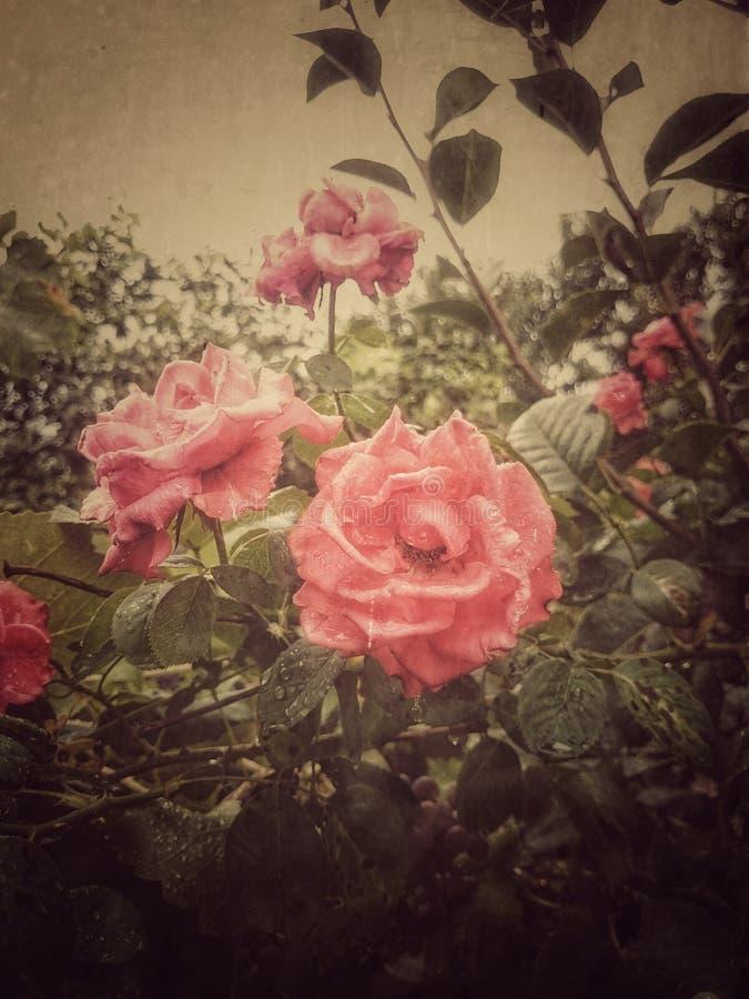 Rosa vermelha bonita foto de stock