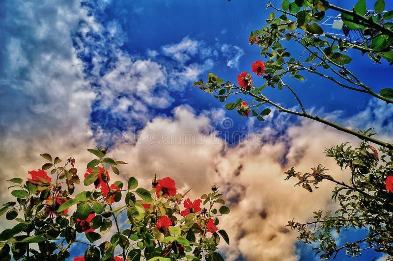Rosa vermelha bonita fotos de stock royalty free