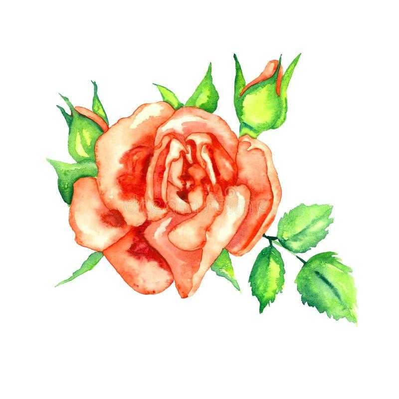 Rosa vermelha brilhante com folhas e os botões verdes, elemento pintado à mão isolado do projeto da ilustração da aquarela ilustração stock