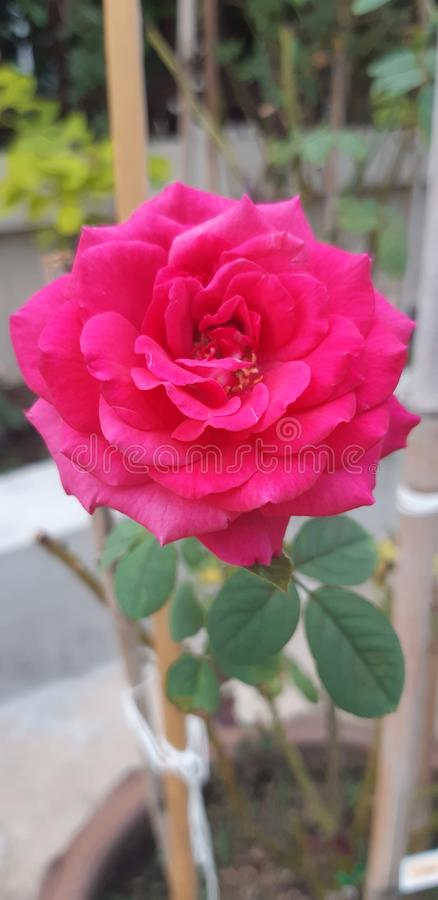 Rosa vermelha brilhante de florescência bonita fotografia de stock royalty free