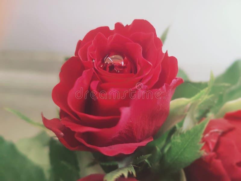 Rosa vermelha com o waterdrop fotos de stock