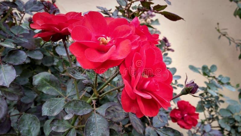 A rosa vermelha com pétala fraca foto de stock