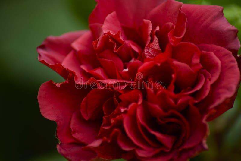 A rosa vermelha de florescência fotografia de stock