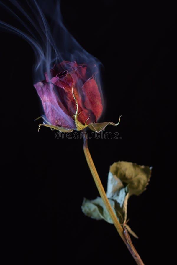 Rosa vermelha de fumo imagem de stock