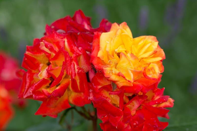 Rosa vermelha e alaranjada bonita com backgound abstrato foto de stock