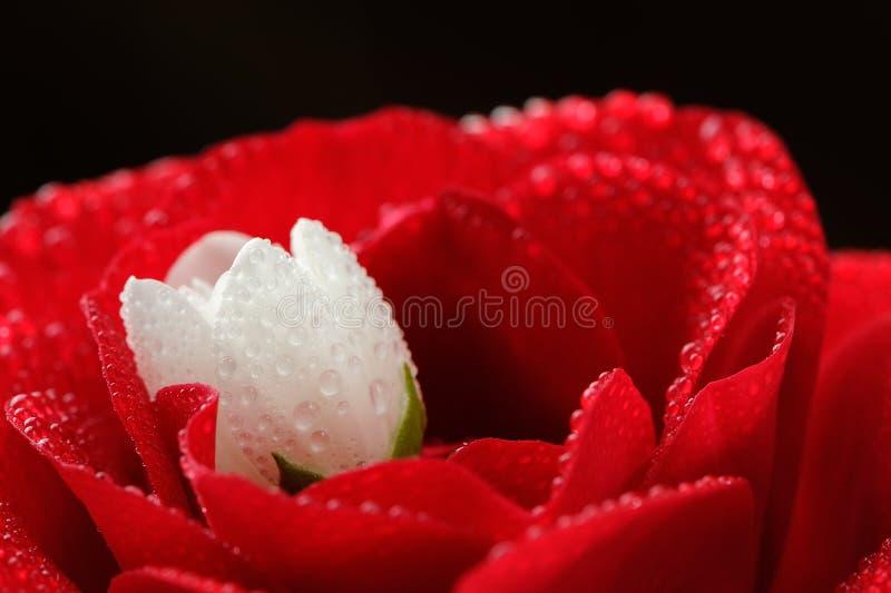 Rosa vermelha e Jasmine Flower branco com close-up das gotas de orvalho fotos de stock royalty free