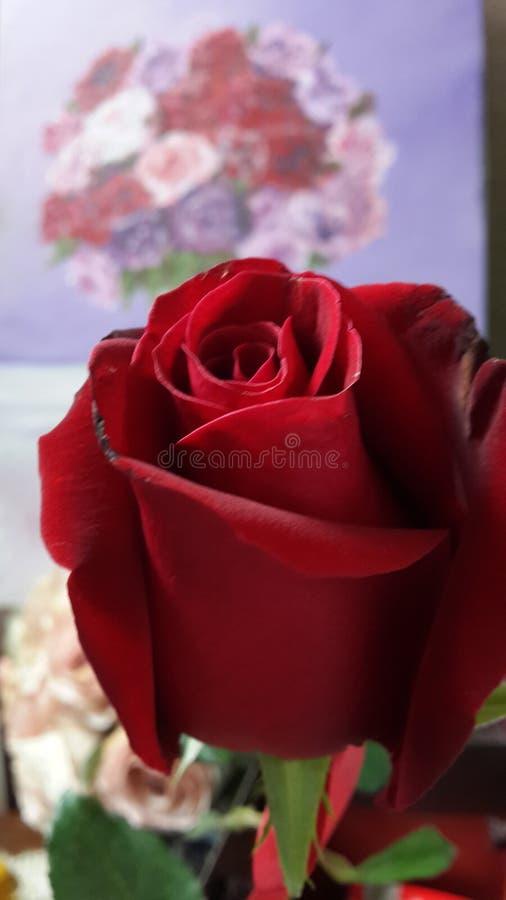 Rosa vermelha e rosas na lona imagem de stock