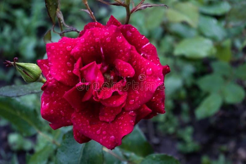 Rosa vermelha e um botão não florescido com gotas do orvalho imagens de stock royalty free