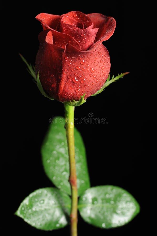 Rosa vermelha em gotas de orvalho fotos de stock royalty free