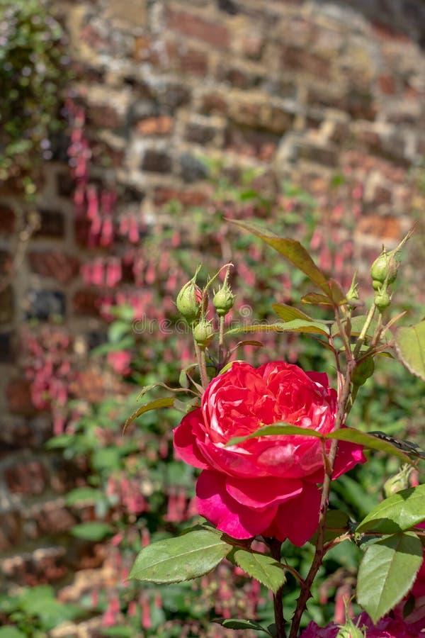 Rosa vermelha em jardins da casa de Eastcote, jardim murado histórico em Eastcote, Pinner, UKgdon, Reino Unido fotografia de stock