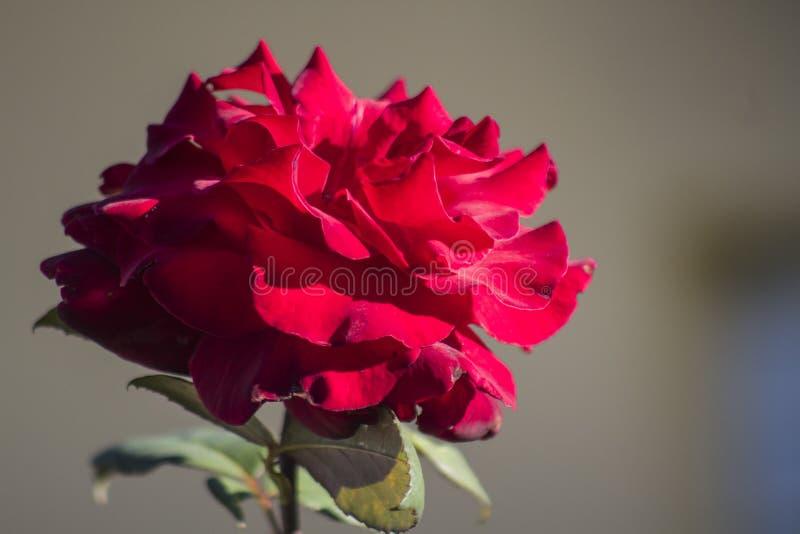 Rosa vermelha inteiramente florescida imagem de stock royalty free