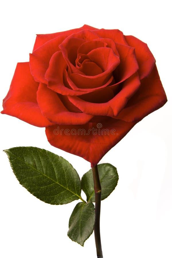 Rosa vermelha isolada fotos de stock