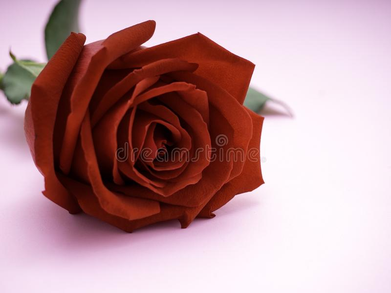 Rosa vermelha isolada no fundo cor-de-rosa imagens de stock