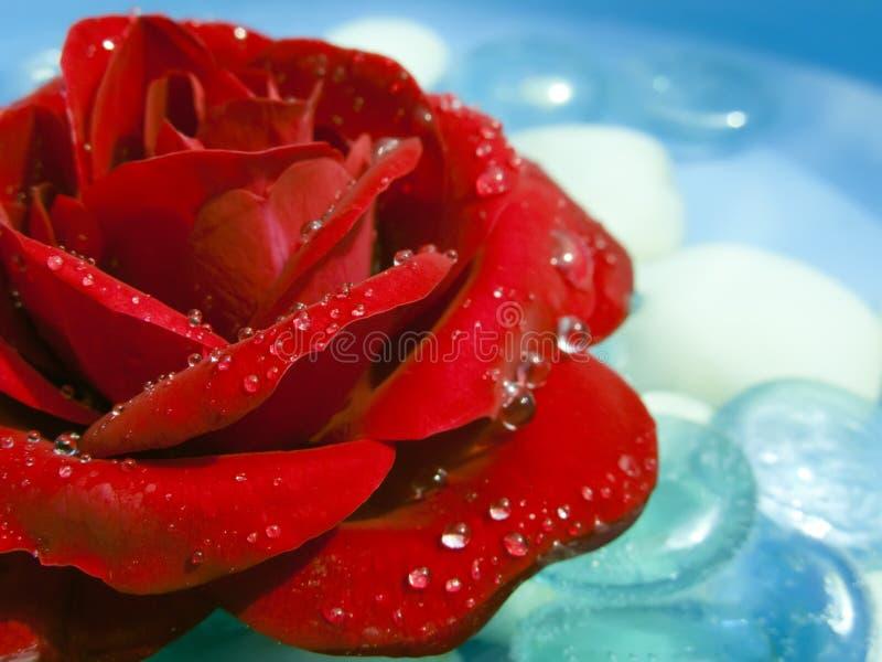 Rosa vermelha lavada com orvalho fotos de stock royalty free