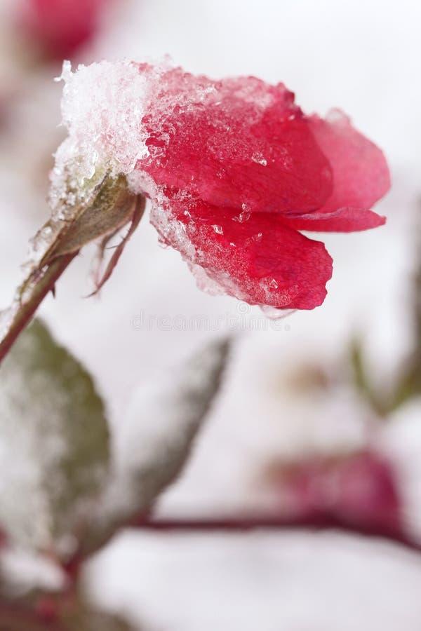 Rosa vermelha na neve branca no inverno fotos de stock royalty free
