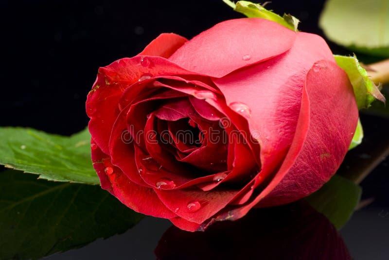 Rosa vermelha no fundo preto imagem de stock royalty free