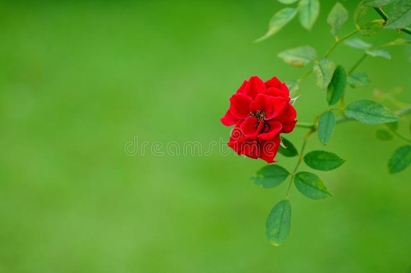 Rosa vermelha no fundo verde foto de stock royalty free