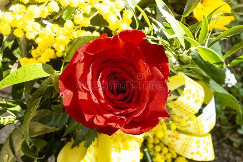 Rosa vermelha para o dia das mulheres fotografia de stock royalty free