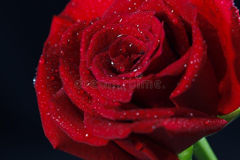 Rosa vermelha romântica e bonita imagem de stock royalty free