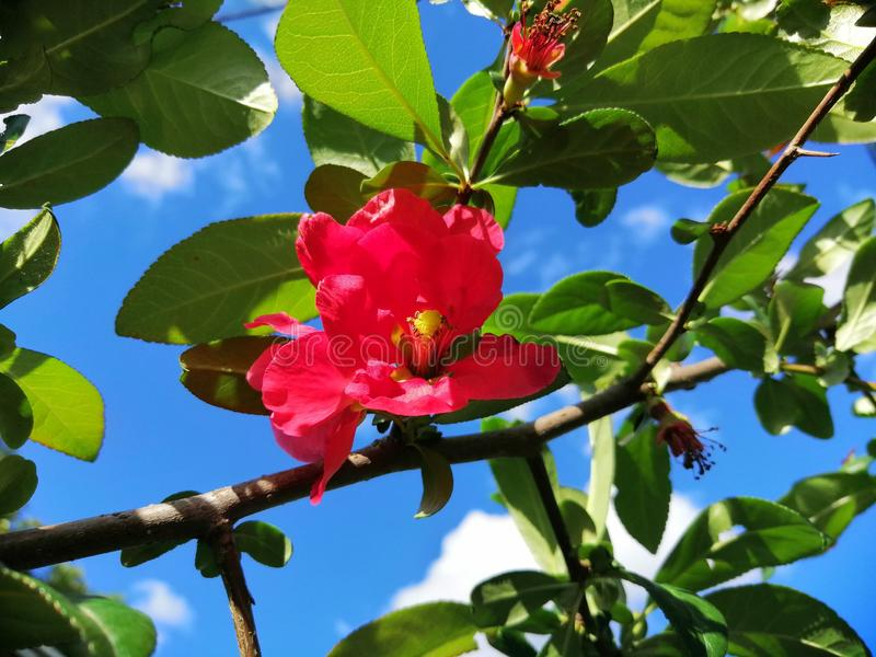 Rosa vermelha selvagem na natureza foto de stock royalty free