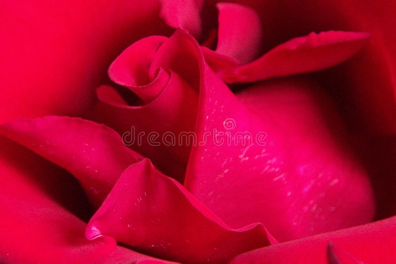 Rosa Vermelha Vermelha Imagem de Stock