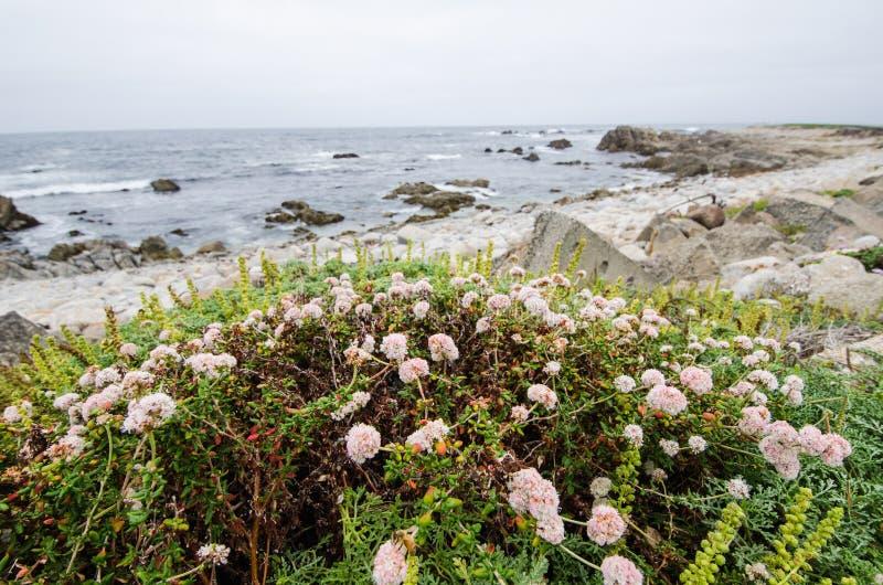 Rosa vildblommor växer nära kustlinjen av Stilla havet i Kalifornien längs Stillahavskustenhuvudvägen Mulen dag fotografering för bildbyråer