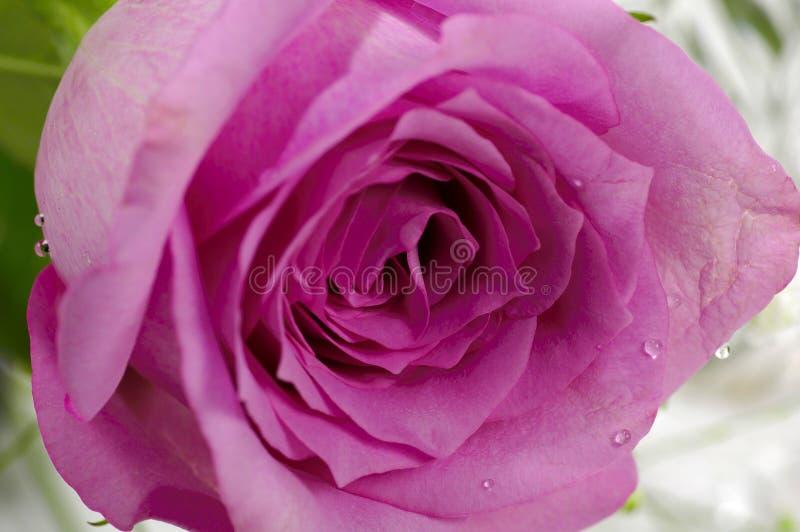 Rosa Viola Fotografie Stock