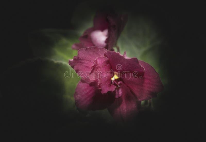 Rosa Viola Flowers Macro Dark bakgrund fotografering för bildbyråer