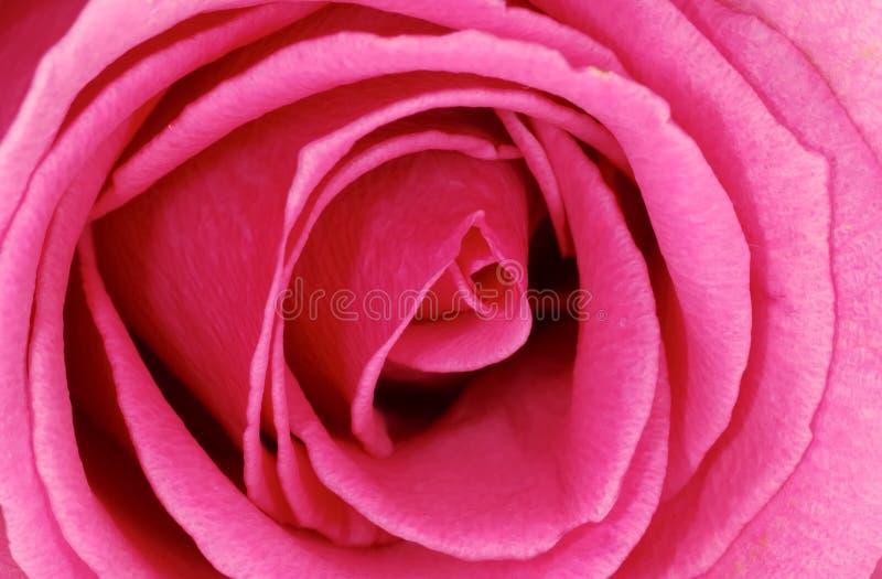 Rosa violeta imagens de stock royalty free