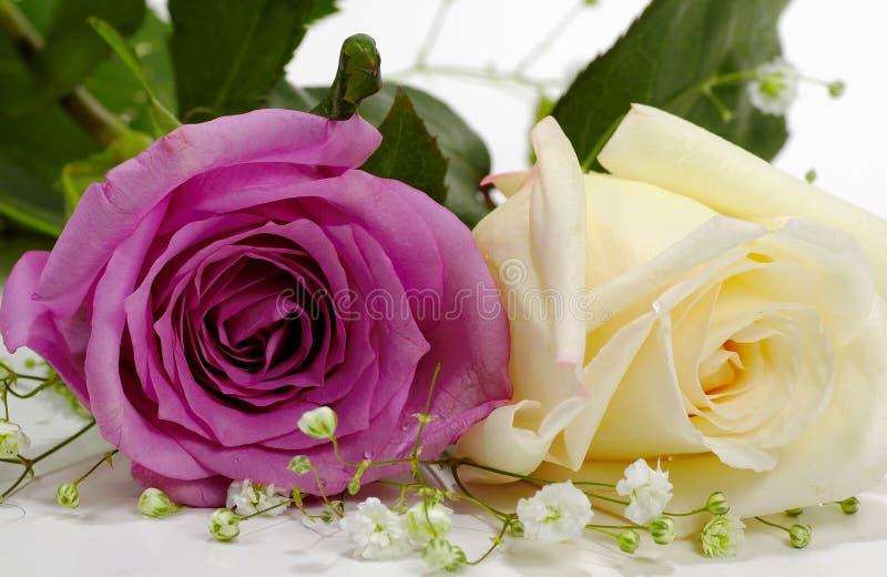 Rosa violeta e branca foto de stock royalty free