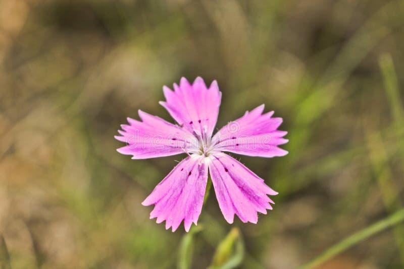 Rosa virginal del clavel de la flor de los deltoides rosados del clavel Planta floreciente salvaje foto de archivo libre de regalías