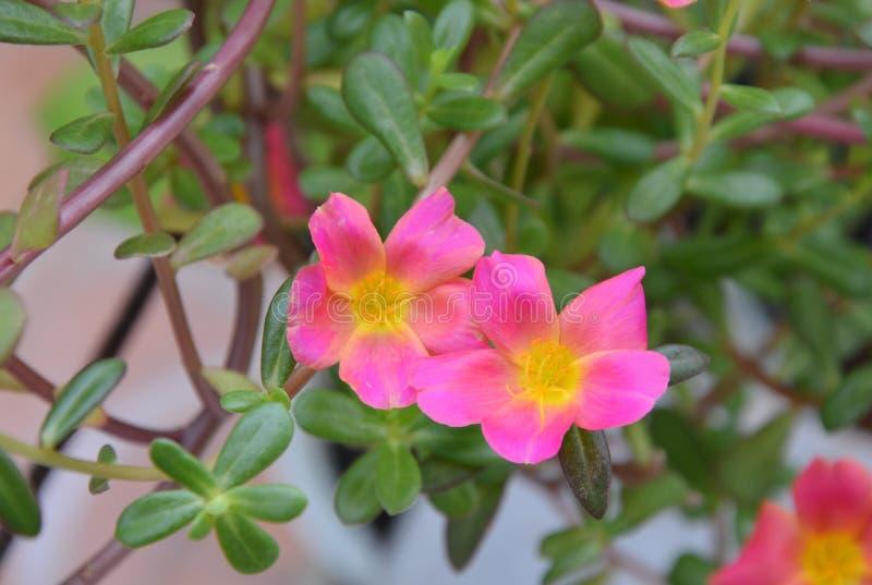 Rosa vis man steg med gult pollen som blommar i trädgård royaltyfria bilder