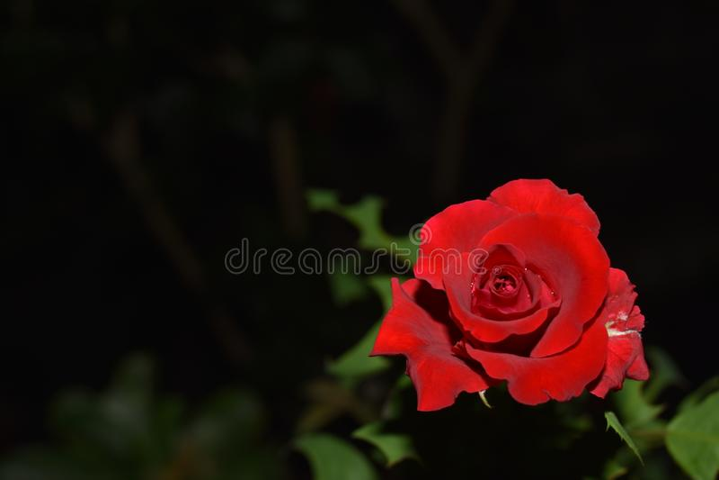 Rosa vista na meia-noite no jardim da comunidade fotografia de stock royalty free