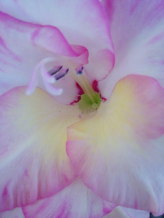 rosa vit blomma royaltyfria bilder