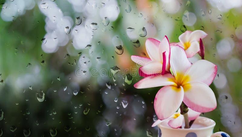 Rosa vit och gulingplumeria eller frangipani i kopp på regnwate arkivfoton