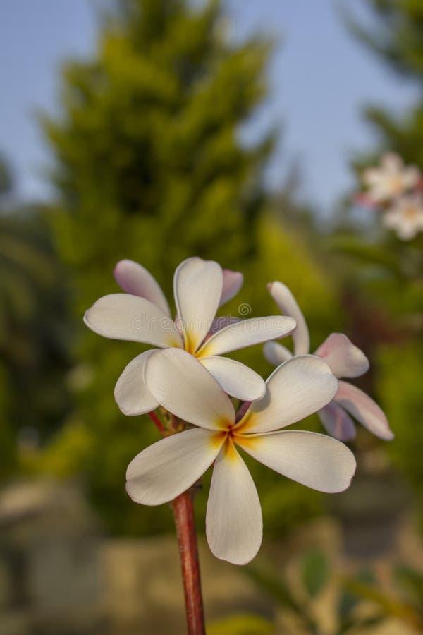 Rosa vit tropisk closeup för blommafrangipaniplumeria på suddig grön trädbakgrund arkivfoton