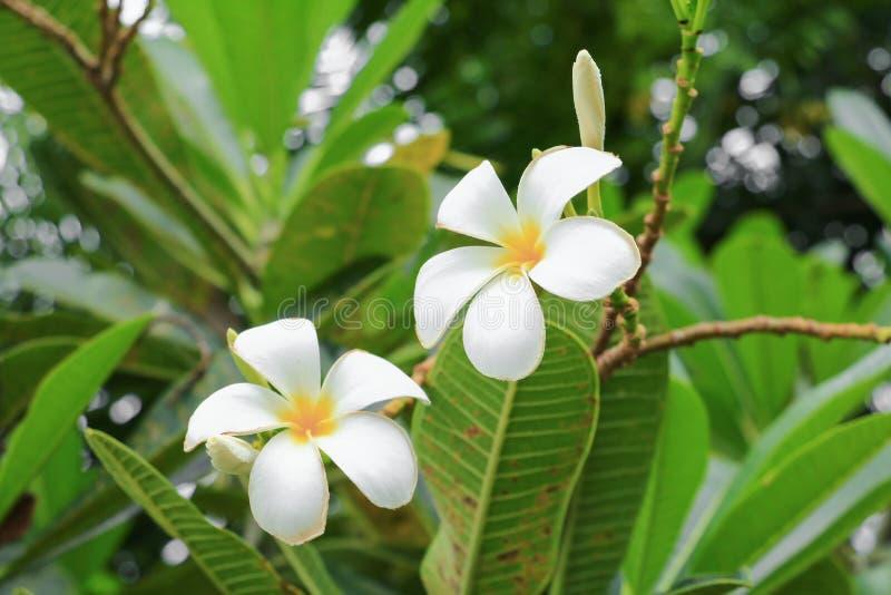 Rosa vitt härligt för Plumeriablommaöken på det vetenskapliga namnet för träd, Apocynaceae, Frangipani, pagod, tempel arkivfoto