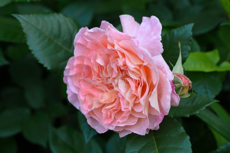 Rosa vivace Augusta Luise di rosa nel giardino di estate Sosta della sorgente immagine stock