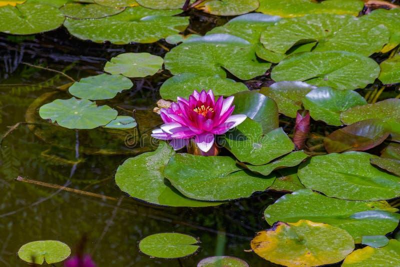 Rosa Wasser liliy oder Lotosblume in einem Gartenteich stockbild