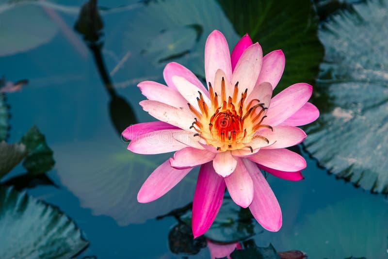 Rosa Wasser Lilly-Blume Blüte voll lizenzfreie stockfotografie