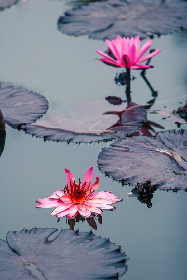 Rosa Wasser Lilly-Blume Blüte voll lizenzfreies stockfoto