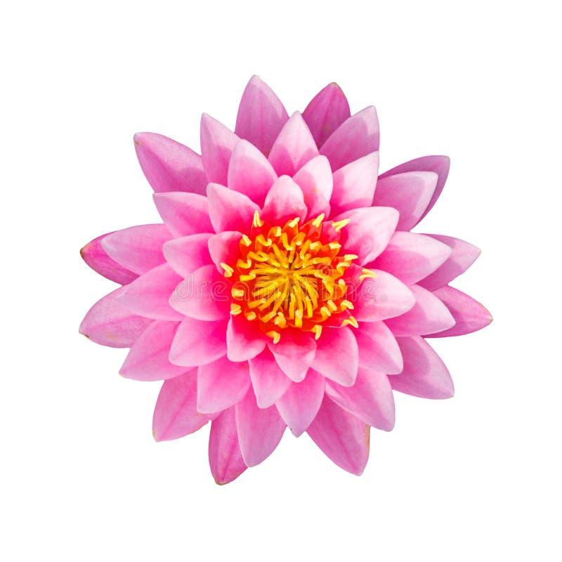 Rosa waterlily o fiore di loto fotografia stock libera da diritti